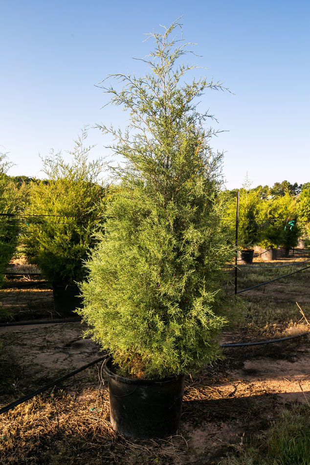Eastern red cedar us trees of texas